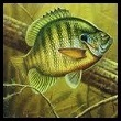 Photo of a Bluegill