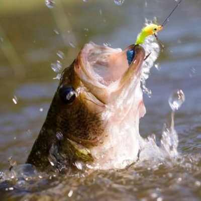 world record largemouth bass wikipedia