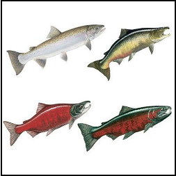 Different Types of Salmon