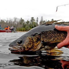 A Caught Walleye Being Released