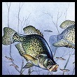 Photo of a Crappie