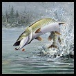 Photo of Muskie Fish
