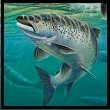 Photo of Salmon Fish